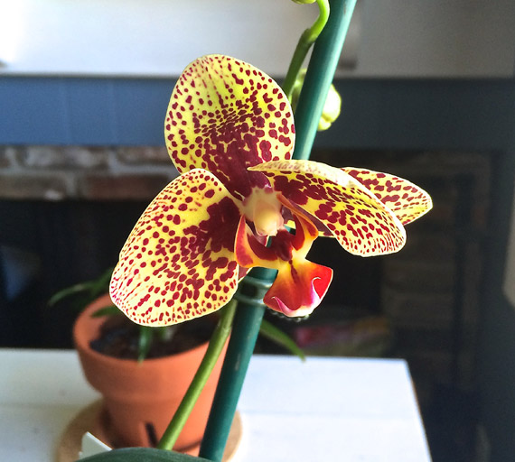 One of Jeff's orchids is in bloom! You don't even know the excitement.